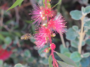Bee &Callistemon
